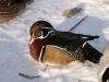 img_1510-duck